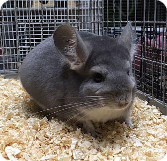 Chinchilla for adoption in Hammond, Indiana - 5 mo violet female chinchilla