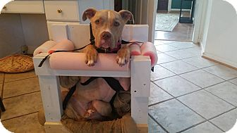 American Pit Bull Terrier Mix Dog for adoption in Baltimore, Maryland - Bambi