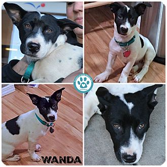 Labrador Retriever Mix Puppy for adoption in Kimberton, Pennsylvania - Wanda