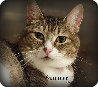 Domestic Shorthair Cat for adoption in Springfield, Pennsylvania - Summer