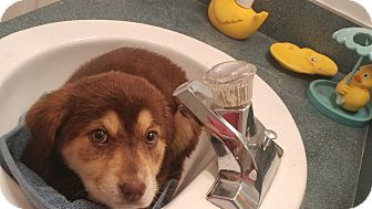 Collie/Australian Cattle Dog Mix Puppy for adoption in Forest Hill, Maryland - Porcelain