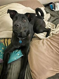 Shepherd (Unknown Type)/Husky Mix Dog for adoption in Jupiter, Florida - Brutus the teen