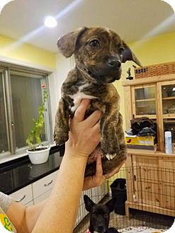 Corgi/Terrier (Unknown Type, Medium) Mix Puppy for adoption in Brookeville, Maryland - Joker