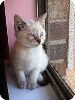 Siamese Kitten for adoption in Carencro, Louisiana - Lagertha