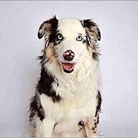 Australian Shepherd Dog for adoption in Salt Lake City, Utah - Rufio