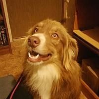 Adopt A Pet :: Dakota - springtown, TX