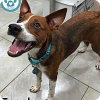 Adopt A Pet :: Scooby - Kimberton, PA