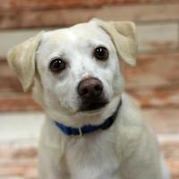 American Eskimo Dog/Chihuahua Mix Dog for adoption in Palm Springs, California - Darwin