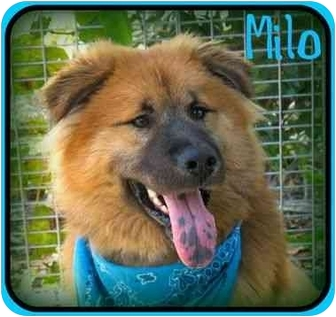 Golden Retriever/Chow Chow Mix Puppy for adoption in San Pedro, California - Milo