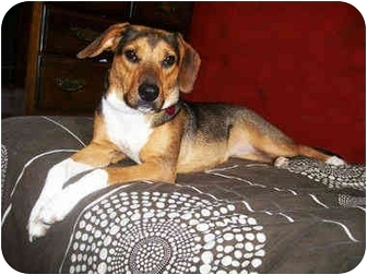 Beagle/German Shepherd Dog Mix Dog for adoption in Latrobe, Pennsylvania - Darla