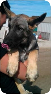 German Shepherd Dog Mix Puppy for adoption in Simi Valley, California - Rouge