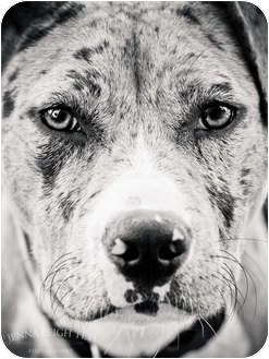 American Pit Bull Terrier/Catahoula Leopard Dog Mix Dog for adoption in Jersey City, New Jersey - KATIYA