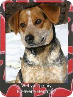 Beagle/Blue Heeler Mix Dog for adoption in Ladysmith, Wisconsin - Otis