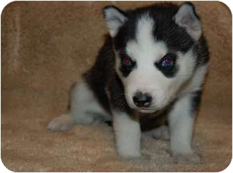 Siberian Husky Mix Puppy for adoption in Rochester/Buffalo, New York - Stella