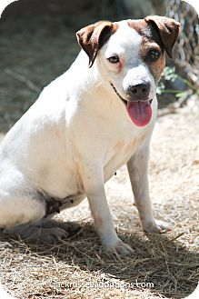Jack Russell Terrier Dog for adoption in Conyers, Georgia - Lorelee