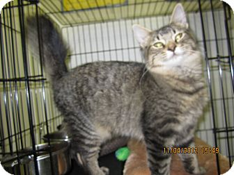 Domestic Shorthair Kitten for adoption in Jeffersonville, Indiana - Rooster