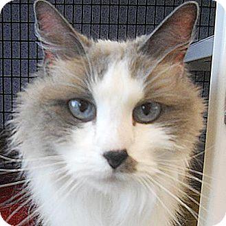 Snowshoe Cat for adoption in Denver, Colorado - Baya