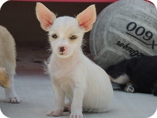 Terrier (Unknown Type, Small) Mix Puppy for adoption in Tustin, California - Sam