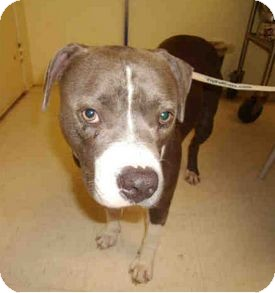 American Pit Bull Terrier Mix Dog for adoption in Yuba City, California - 07/03 Charms