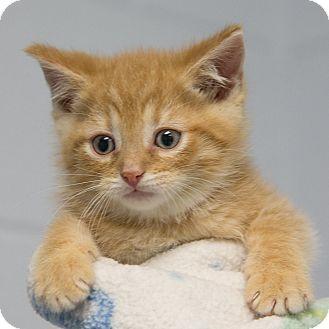 Domestic Shorthair Kitten for adoption in Staunton, Virginia - Elwood