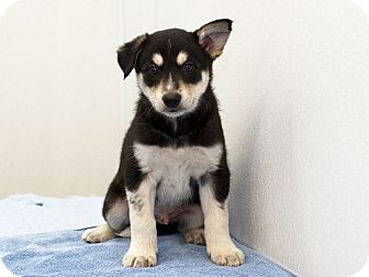 Husky/Border Collie Mix Puppy for adoption in Ile-Perrot, Quebec - Tundra