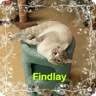 Siamese Cat for adoption in New Richmond,, Wisconsin - Findlay