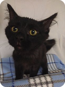 Domestic Mediumhair Kitten for adoption in Fountain Hills, Arizona - NIKOLAI