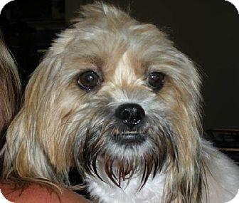 Shih Tzu/Lhasa Apso Mix Dog for adoption in Long Beach, California - COOKIE