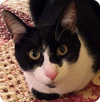 Domestic Shorthair Cat for adoption in Tiburon, California - Pablo Picasso