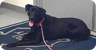 Labrador Retriever/Border Collie Mix Dog for adoption in Hartford, Kentucky - Doc