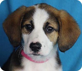 Hound (Unknown Type) Mix Puppy for adoption in Minneapolis, Minnesota - Aubrey