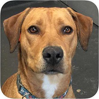 Labrador Retriever/Boxer Mix Dog for adoption in Ithaca, New York - Casey
