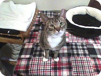 Domestic Shorthair Cat for adoption in Columbus, Ohio - Halley's Comet