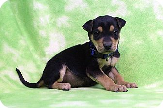 Rottweiler/Shepherd (Unknown Type) Mix Puppy for adoption in Westminster, Colorado - Ibsen
