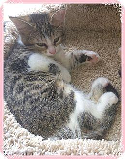 Domestic Shorthair Kitten for adoption in Mt. Prospect, Illinois - Hester
