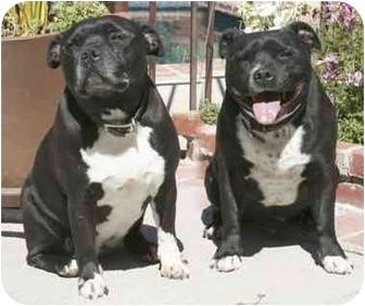 Staffordshire Bull Terrier Dog for adoption in Rolling Hills Estates, California - Jade & Maico