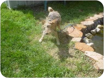 Welsh Terrier/Terrier (Unknown Type, Small) Mix Dog for adoption in Eaton, Indiana - Fritzie