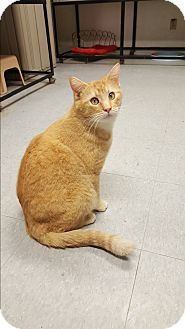 Domestic Shorthair Cat for adoption in Indianola, Iowa - Willie