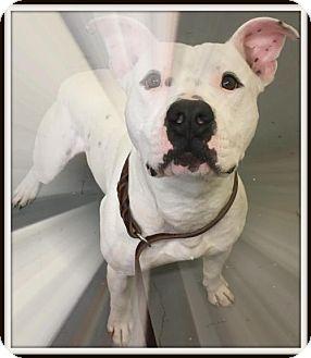 American Pit Bull Terrier Mix Dog for adoption in Fulton, Missouri - Boston - Massachusetts
