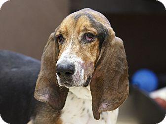 Basset Hound Dog for adoption in Ile-Perrot, Quebec - Boris