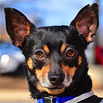 Chihuahua Mix Dog for adoption in Fairfax Station, Virginia - Guiness
