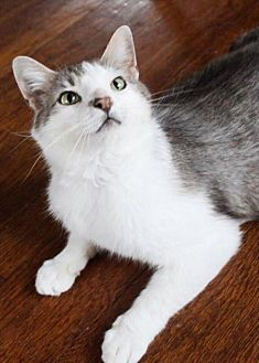 Domestic Shorthair Cat for adoption in Morgantown, West Virginia - Theo