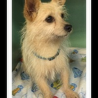 Terrier (Unknown Type, Small) Mix Dog for adoption in Winchester, California - BOOMER