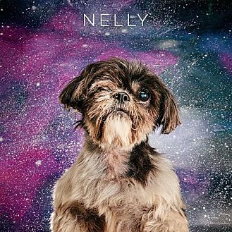 Shih Tzu Dog for adoption in Rocky Hill, Connecticut - Nelly