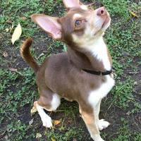 Adopt A Pet :: Coyote - Oak Park, IL