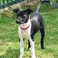 Adopt A Pet :: Britany (NC) - Raleigh, NC