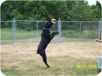 Labrador Retriever/German Shorthaired Pointer Mix Dog for adoption in Alpena, Michigan - JAKE