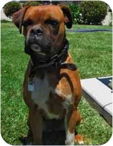 Boxer Mix Dog for adoption in Davis, California - Lily