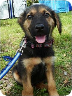 Shepherd (Unknown Type) Mix Puppy for adoption in Detroit, Michigan - Vanna-Pending