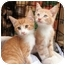 Photo 3 - Domestic Mediumhair Kitten for adoption in Lincolnton, North Carolina - Chloe Elaine